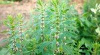 Заспокійливі трави для нервової системи
