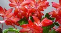 Квітка Декабрист, як доглядати в домашніх умовах