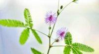Мімоза сором'язлива: догляд в домашніх умовах, цвітіння, вирощування, розмноження
