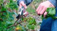 Догляд за ремонтантною малиною і осіння обрізка