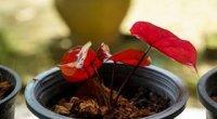 Каладіум: догляд в домашніх умовах, вирощування, розмноження, пересадка