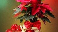 Пуансетія: догляд, цвітіння, розмноження, шкідники та відгуки
