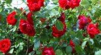 Як зберегти троянду в саду взимку