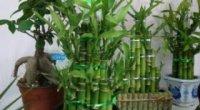 Незвичайна рослина бамбук: вирощуємо у себе вдома