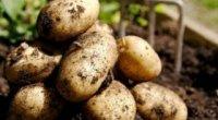 Засоби захисту картоплі