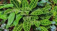 Ктенанта: вирощування, розмноження, пересадка, хвороби і шкідники