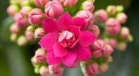 Каланхое: догляд в домашніх умовах, різновиди, особливості цвітіння