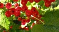 Коли пересаджувати смородину: поради садівникам