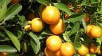 Кумкват: користь і шкода китайського мандарину