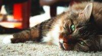 Ниркова недостатність у кішок: симптоми, лікування