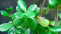 Грошове дерево: догляд в домашніх умовах, пересадка і розмноження