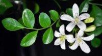Корисні властивості і застосування олії бергамоту