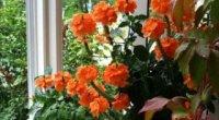 Кросандра вдома – як доглядати за рослиною?