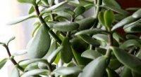 Лікувальні властивості толстянки — грошового дерева