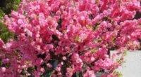 Прикрашаємо присадибну ділянку: вибираємо, який кущ з рожевими квітами посадити