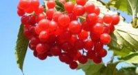 Ягода калина: корисні властивості, рецепти приготування, протипоказання
