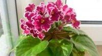 Уроки юного флориста: вирощуємо фіалку