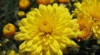 Яскрава хризантема: бажана гостя вдома