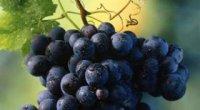 Виноградний оцет – користь і шкода для волосся, в кулінарії, для схуднення
