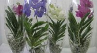 Орхідея Ванда – особливості вирощування та догляду