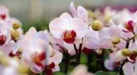Бурштинова кислота для орхідей: застосування