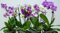Пересадка орхідеї фаленопсис в домашніх умовах