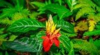 Афеландра: догляд в домашніх, цвітіння, розмноження, пересадка та обрізка