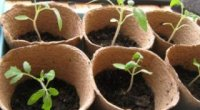 Що таке пікіровка томатів і як правильно її здійснити?