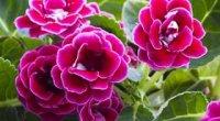 Глоксинія: догляд в домашніх умовах, цвітіння, розмноження і полив