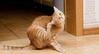 У кішок вушний кліщ