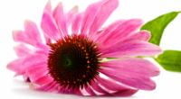 Ехінацея: лікувальні властивості і протипоказання