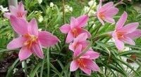 Зефірантес: догляд в домашніх умовах, розмноження і чому не цвіте