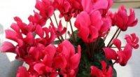 Квітка цикломения: догляд, розмноження