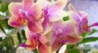 Чому не цвіте орхідея