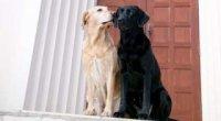 Скільки триває тічка у собак?