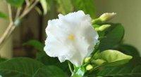 Табернемонтана: догляд в домашніх умовах, розмноження, хвороби і шкідники