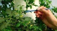 Самозапильні сорти огірків для відкритого грунту