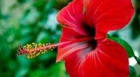 Гібіскус кімнатний: догляд в домашніх умовах влітку і взимку, цвітіння, вирощування
