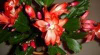 Квітка декабрист: правила догляду в домашніх умовах