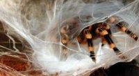 Павук-птахоїд в домашніх умовах