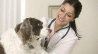 Чому з'являється вушний кліщ у собак?