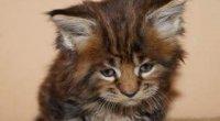 Кошенята і кішки Мейн-Кун: їх характер та догляд