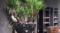 Юкка – догляд за квіткою в домашніх умовах і в саду