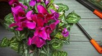 Цикламен перський: як доглядати в домашніх умовах, полив і розмноження