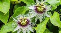 Пасифлора: догляд в домашніх умовах, розмноження живцями і насінням