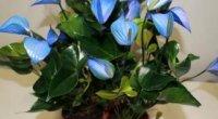 Квіти в домі: забобони та прикмети