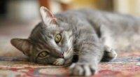 Протиглисні препарати для кішок
