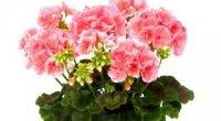 Герань: обрізка для пишного цвітіння