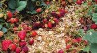 Чим мульчувати полуницю восени і навесні?