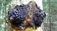 Березовий гриб чага: користь, шкода, спосіб використання